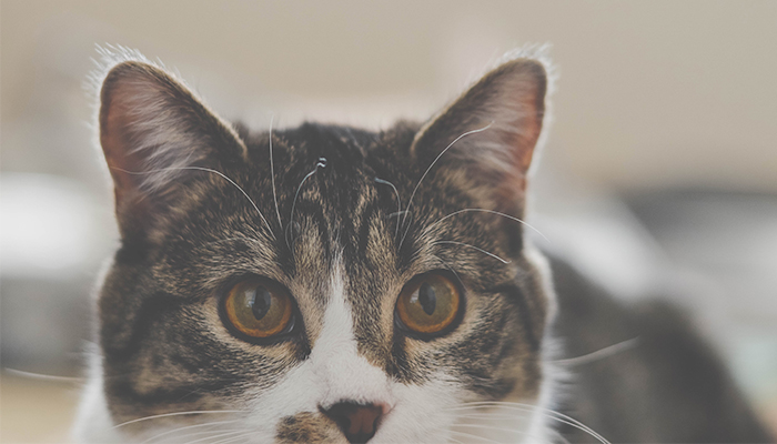 Cannabis Oil for Cat Skin Problems